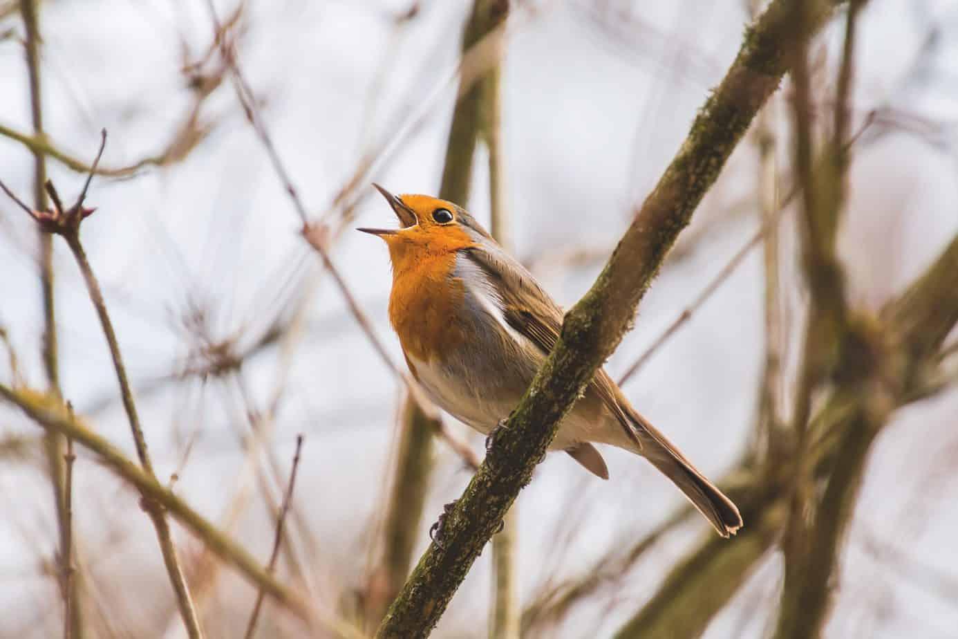Musik ist älter als der Mensch. Über Vogellied und Bläserspiel